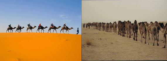 camel-in-dessert